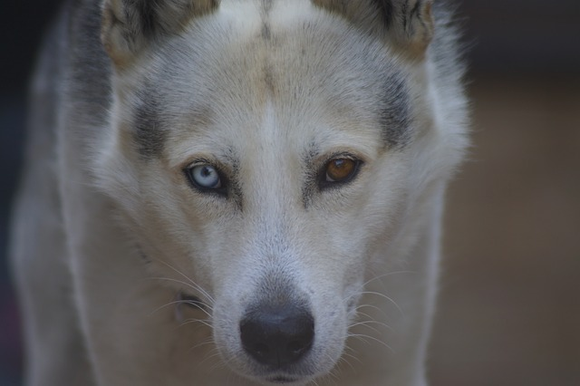 Things-you-need-to-know-about-the-Siberian-husky-A