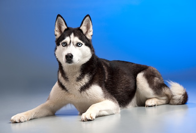 Things-you-need-to-know-about-the-Siberian-husky-F